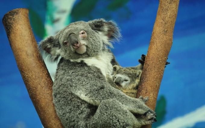 3月4日起可以到广州长隆野生动物园看考拉