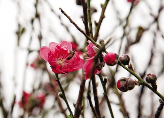 荔湾区海北村,一些桃花已提早开放。