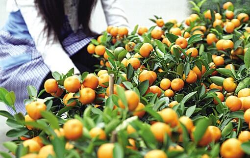 广州哪里买年花最好?