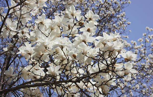 赏花推荐:华南植物园玉兰花开早争春