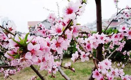 广州哪里有桃花看