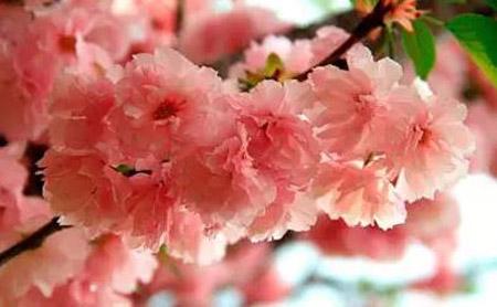 广州哪里有樱花看