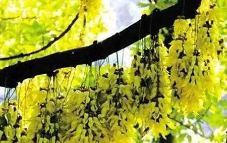 广州哪里有禾雀花看