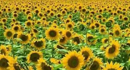 广州哪里有向日葵看