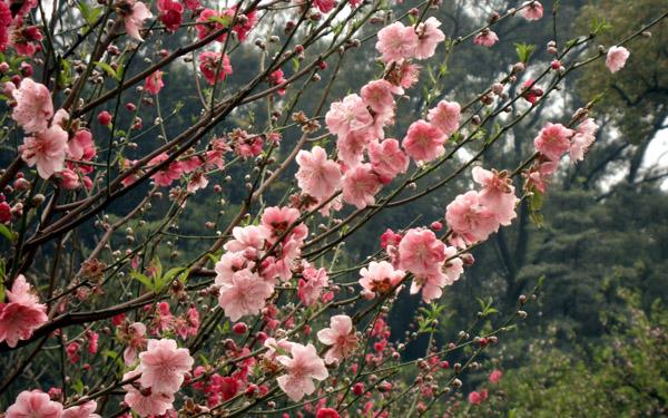 广州哪里有桃花看?广州赏花全攻略