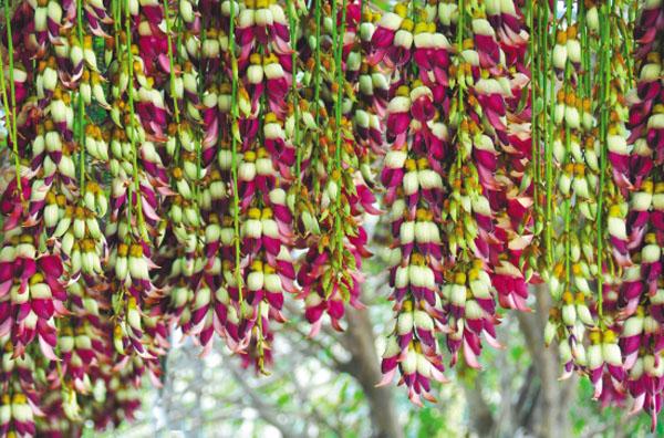广东省内哪里的禾雀花最好看