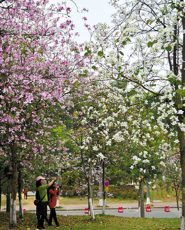 广州哪里有紫荆花看