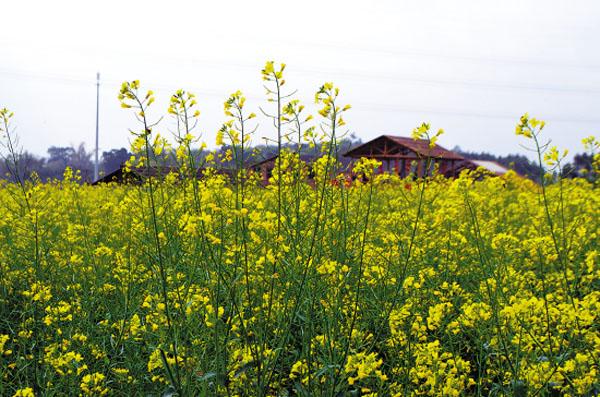 广州周边哪里有油菜花看,佛山赏花攻略