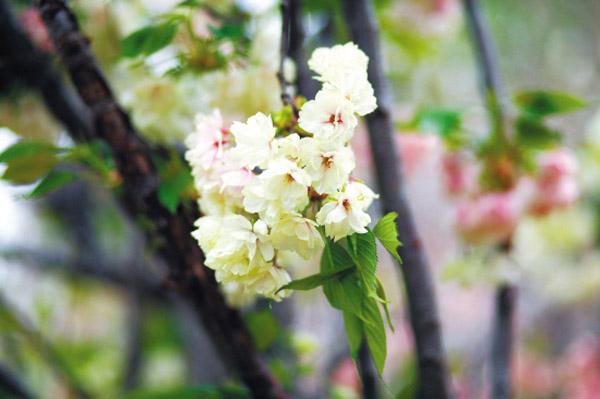 广州周边哪里可以赏樱花,东莞赏花指南