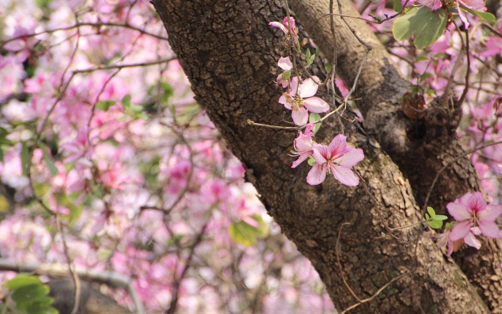 广州春日踏青赏花好去处 紫荆朵朵开