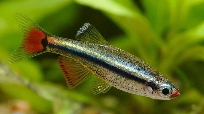 白云金丝鱼:一种体态较小、色彩艳丽对鱼类