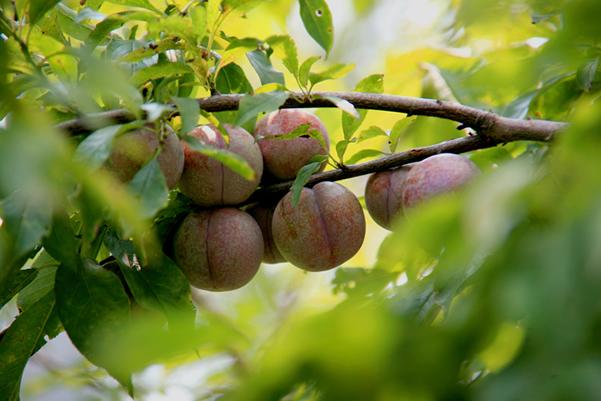 从化三华李:爽脆多汁、甜中带酸带有蜜味的水果佳品