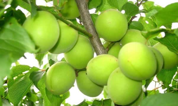 从化青梅:果大、肉厚、核小的梅中极品