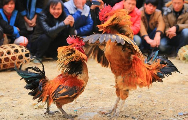 清明节为什么斗鸡?古代用于竞赛和娱乐!