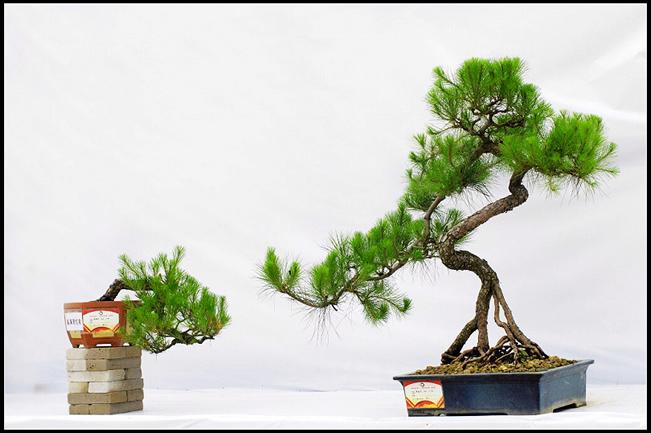 岭南盆景的起源:产生于明清时期 建国后形成独特风格