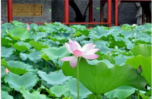 哪里有荷花看?广州宝墨园花开繁盛、荷叶如波!