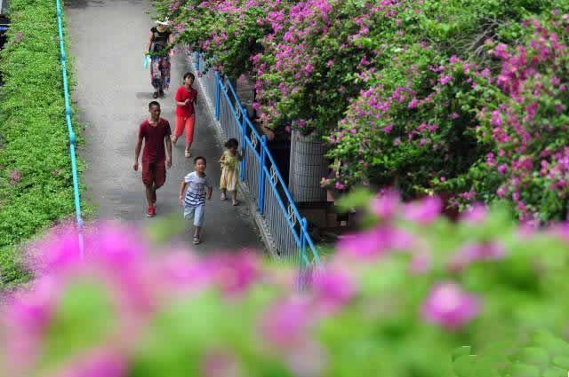 美在花城:广州五色簕杜鹃扮靓天桥