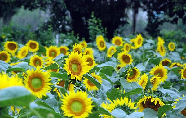 到百万葵园赏向日葵吃葵花鸡过国庆!