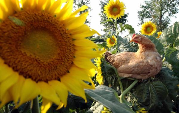 广州葵花鸡的养殖方式你知道吗?