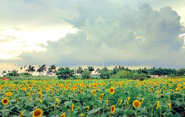 国庆一日游好去处:百万葵园景点介绍