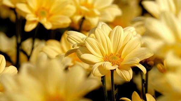 重阳节为什么要赏菊?
