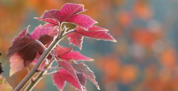 秋天去哪看枫叶?南海西樵山层林尽染!