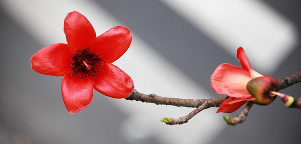 广州黄花岗上的菊花与木棉花