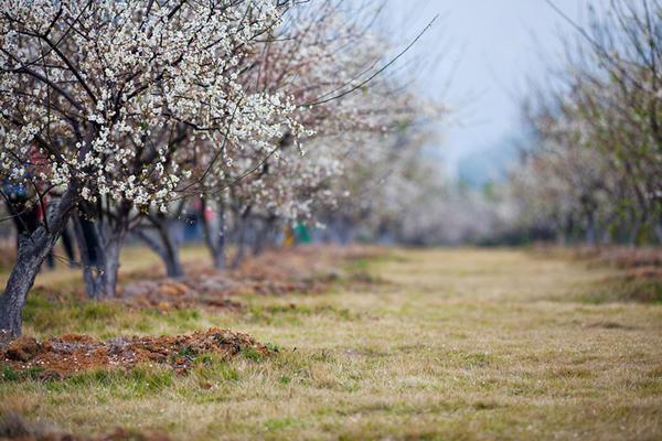 今年春节到萝岗公园观赏梅花