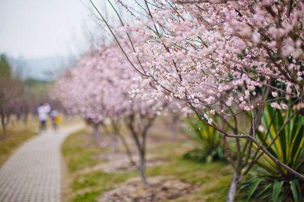 春节到香雪公园踏雪寻梅!