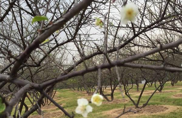 春节赏梅好去处:香雪公园