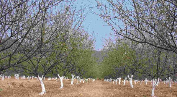 春节相约到萝岗香雪公园赏梅