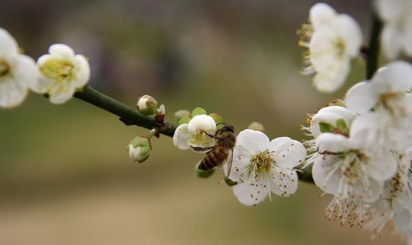 春节到萝岗公园看梅花三弄①