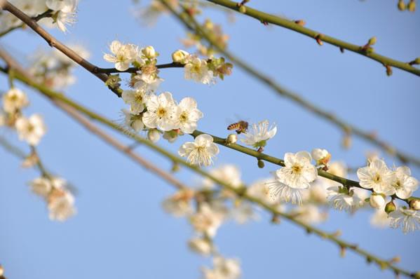 春节到萝岗公园看梅花三弄②