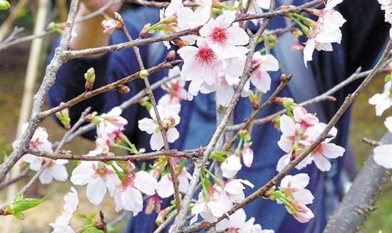 2017年元宵节白云山最全赏花攻略