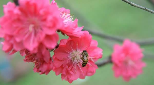 春季到番禺莲花山欣赏桃花