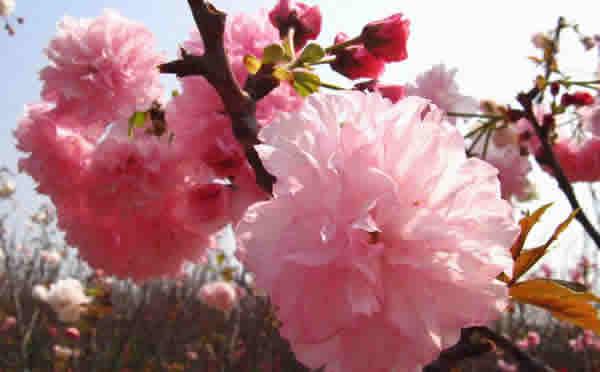 三八妇女节到百万葵园看樱花