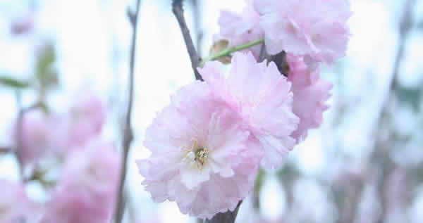 春季旅游到百万葵园赏樱花
