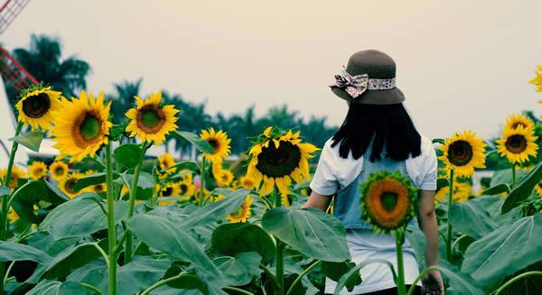 广州南沙百万葵园一日游记