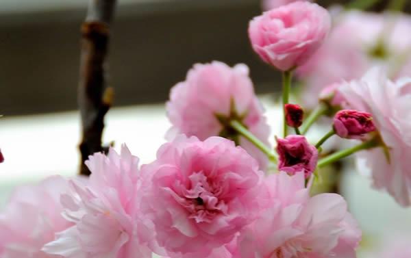 春季旅游到番禺百万葵园欣赏樱花