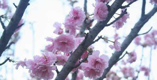 周末到番禺百万葵园欣赏樱花雨