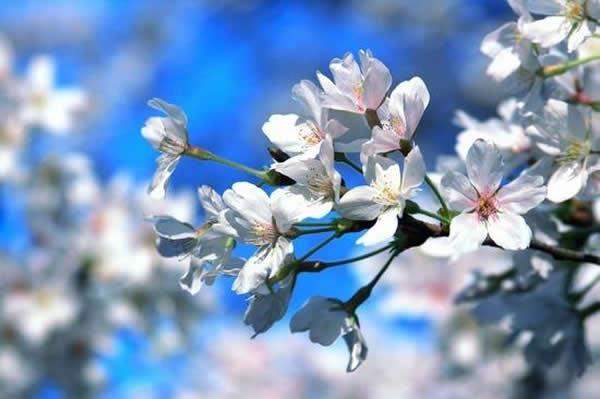 春季旅游到广州百万葵园赏樱花