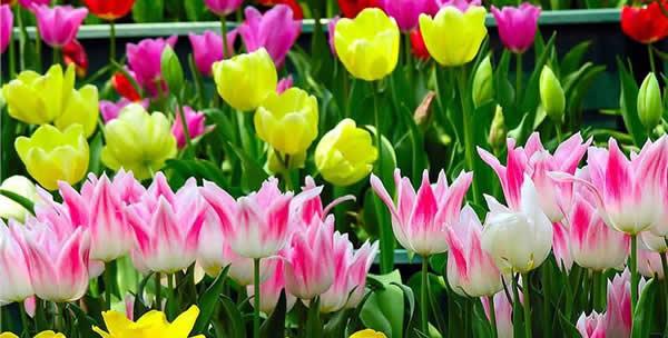 周末旅游到百万葵园赏郁金香