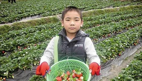 春季到广州帽峰山公园摘草莓