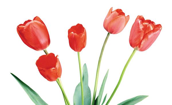 清明节到百万葵园欣赏郁金香吧!