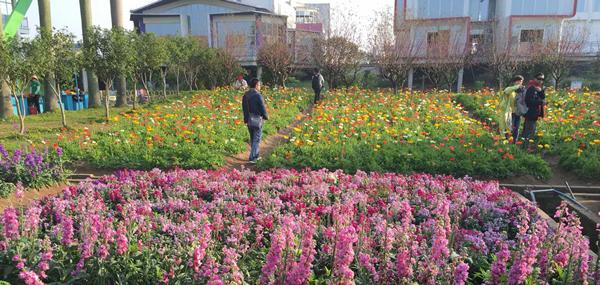 清明节广州南沙百万葵园一日游攻略
