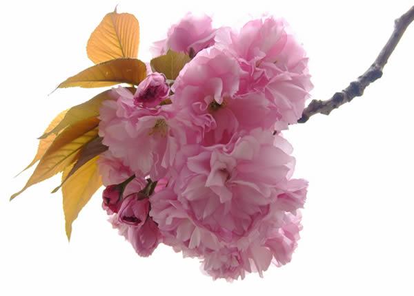 清明节约会到百万葵园欣赏樱花