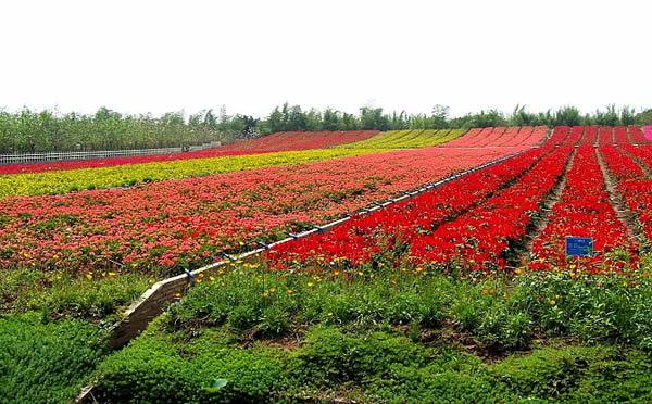 清明节到百万葵欣赏香水百合花
