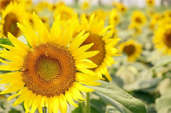 清明旅游到番禺百万葵园赏花吧!