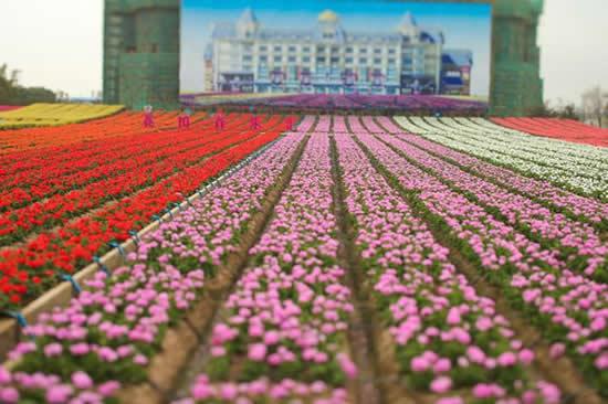 广州一日游热门景点百万葵园什么时候去好