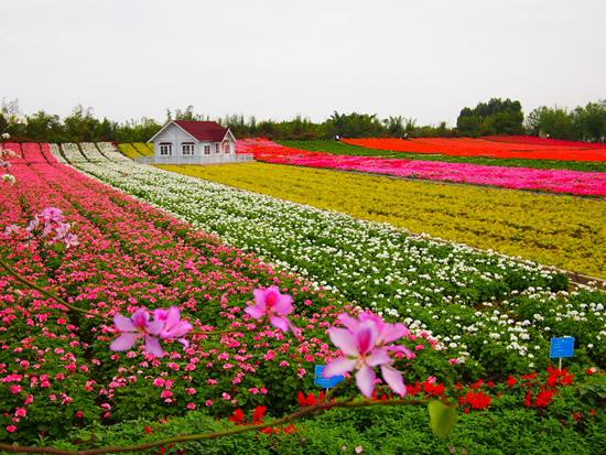 广州一日游到百万葵园欣赏一望无际的葵海